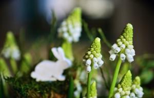 hyacinth-3220220_1280